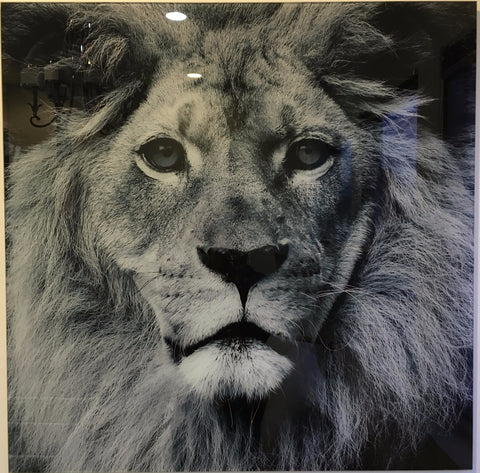 """Lion"" tempered glass photography - IN STORE CLOSING DOWN CLEARANCE NOW $99 !"