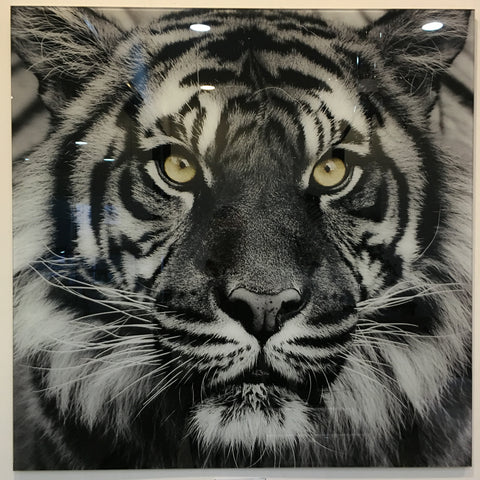 """Tiger"" tempered glass photography - IN STORE CLOSING DOWN CLEARANCE now $99 !"