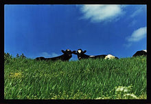 Load image into Gallery viewer, Cows, 100ft Drain, Welney 1993