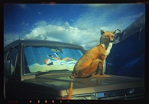 Fox on Rover, Stow-cum-Quy 1993