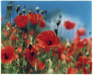 Poppies, Nr Walsingham, Norfolk 2006