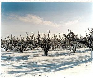 Oakington Road - Pear Orchard, Cottenham, Cambridgeshire 2003