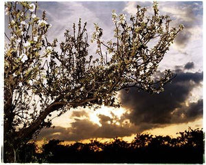 Oakington Road - Apple Tree, Cottenham, Cambridgeshire 2003