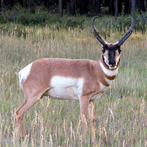 Lot #20: 2020 West Desert, Rush Valley; Buck Pronghorn: Any Legal Weapon