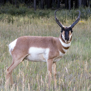 Lot #4: 2020 Mt Dutton / Paunsaugunt; Buck Pronghorn: Any Legal Weapon