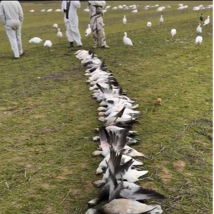 Snow Goose Group Hunt: Snow Goose Solutions