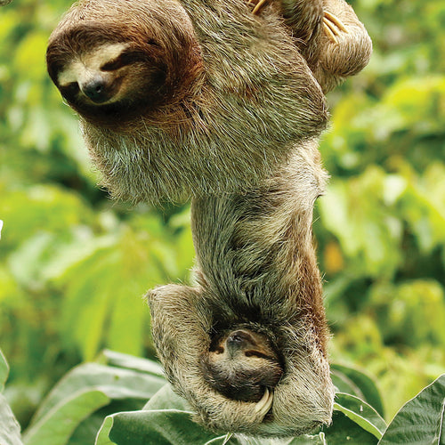 This wild mother and infant sloth were photographed in the Sobrenia National Park, which surrounds the Panamá Canal. Credit Line: WDabrowka, KVang @birdexplorers.com