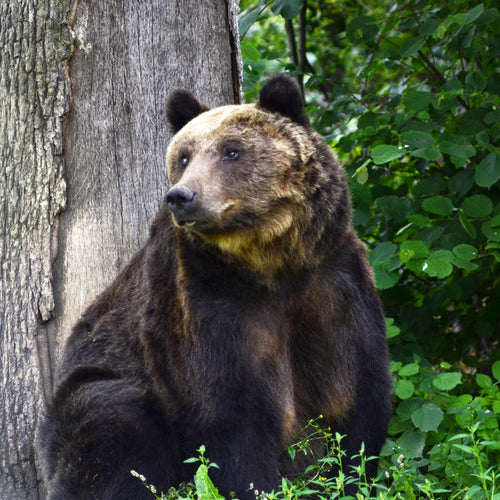 Graeme the bear relaxing in the sanctuary in Zarnesti, Romania. Graeme lost his right eye many years ago but is now in good health. Credit Line: AMP