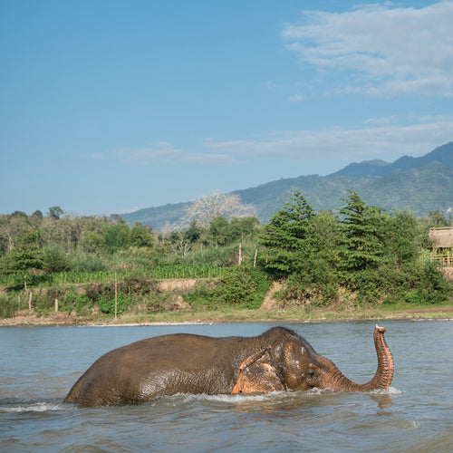 In the lush green hills outside of Luang Prabang in northern Laos, is the first non-riding elephant sanctuary in the country, MandaLao elephant conservation. Credit Line: World Animal Protection / Nick Axelrod