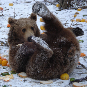 Gina, one of the residents of the Romania Bear Sanctuary, enjoys a snack while playing in the snow. Credit Line: AMP