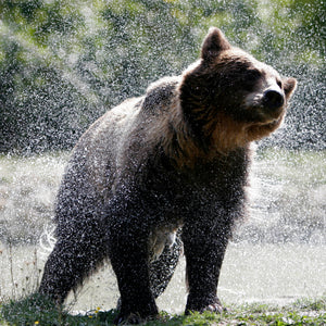 A bear leaving a river. Picture credit: www.martinusborne.com