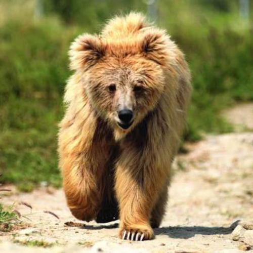 Bhoori, one of the Himalayan brown bears at Balkasar sanctuary, has been there since she was rescued in 2001. Credit Line: World Animal Protection