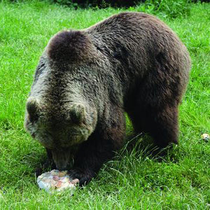 A bear eating a treat in a bear sanctuary. Credit Line: World Animal Protection