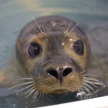 Load image into Gallery viewer, In October 2017, our partner the Marine Mammals of Maine (MMoME) fully rehabilitated and released its first two seals, Higgins and Orchard after they found the young harbor seal pups stranded and injured. World Animal Protection is providing funding and other support for the new triage center. Credit: World Animal Protection / Harrison Kennedy