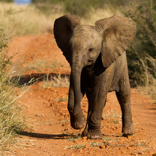 An African elephant calf in a national park. World Animal Protection believes that wild animals should be left in the wild and not used for our entertainment. Credit Line: iStock. by Getty Images