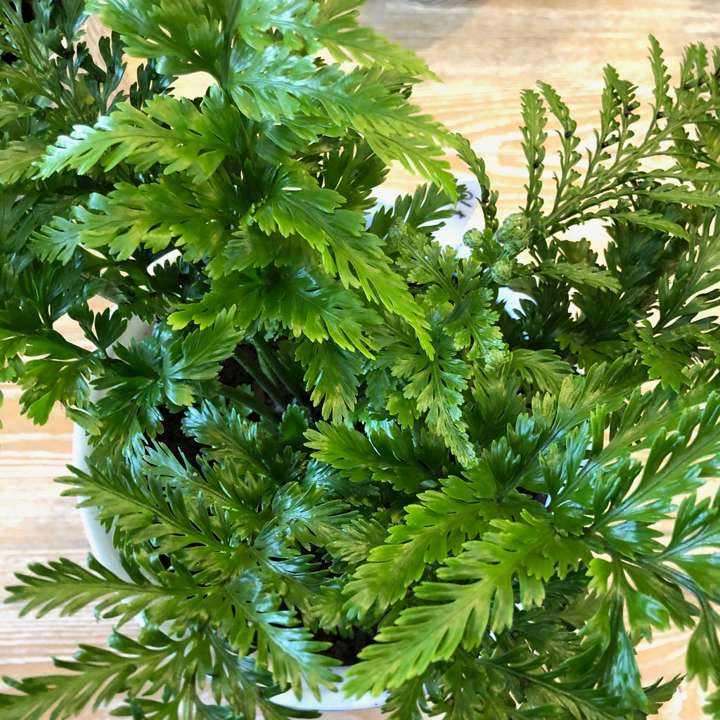 Hen & Chicken Fern