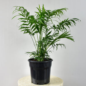 The Parlor Palm is a versatile and durable plant, meaning it can cope with low light to bright light and will not complain if it is allowed to dry out completely.  It's a slow grower, has compact foliage, and also acts as a great air purifier.