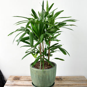 A dense Rhapis Palm in a green Soho pot. This is provided by the best flower shop in Ashburton, Victoria. The Branche delivers to Malvern, Malvern East, Ashwood, Camberwell, Glen Iris, Toorak, Ashwood, Burwood, Carnegie, Glen Huntly, Hughesdale, Kooyong, Doncaster and Oakleigh. You will find that the best florist near me is The Branche, Ashburton. Order your fresh flowers or plants online today.