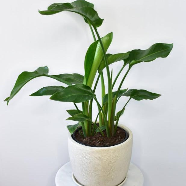 Healthy indoor Strelitzia in a medium ivory soho metal pot, provided by the best flower shop in Ashburton, Victoria. The Branche delivers to Malvern, Malvern East, Ashwood, Camberwell, Glen Iris, Toorak, Ashwood, Burwood, Carnegie, Glen Huntly, Hughesdale, Kooyong, and Oakleigh. You will find that the best florist near me is The Branche, Ashburton. Order online today.