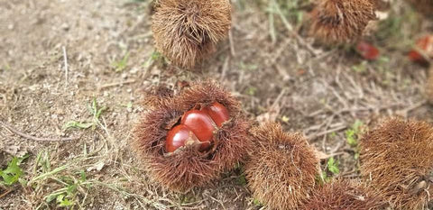 Chestnut Picking IN South Korea