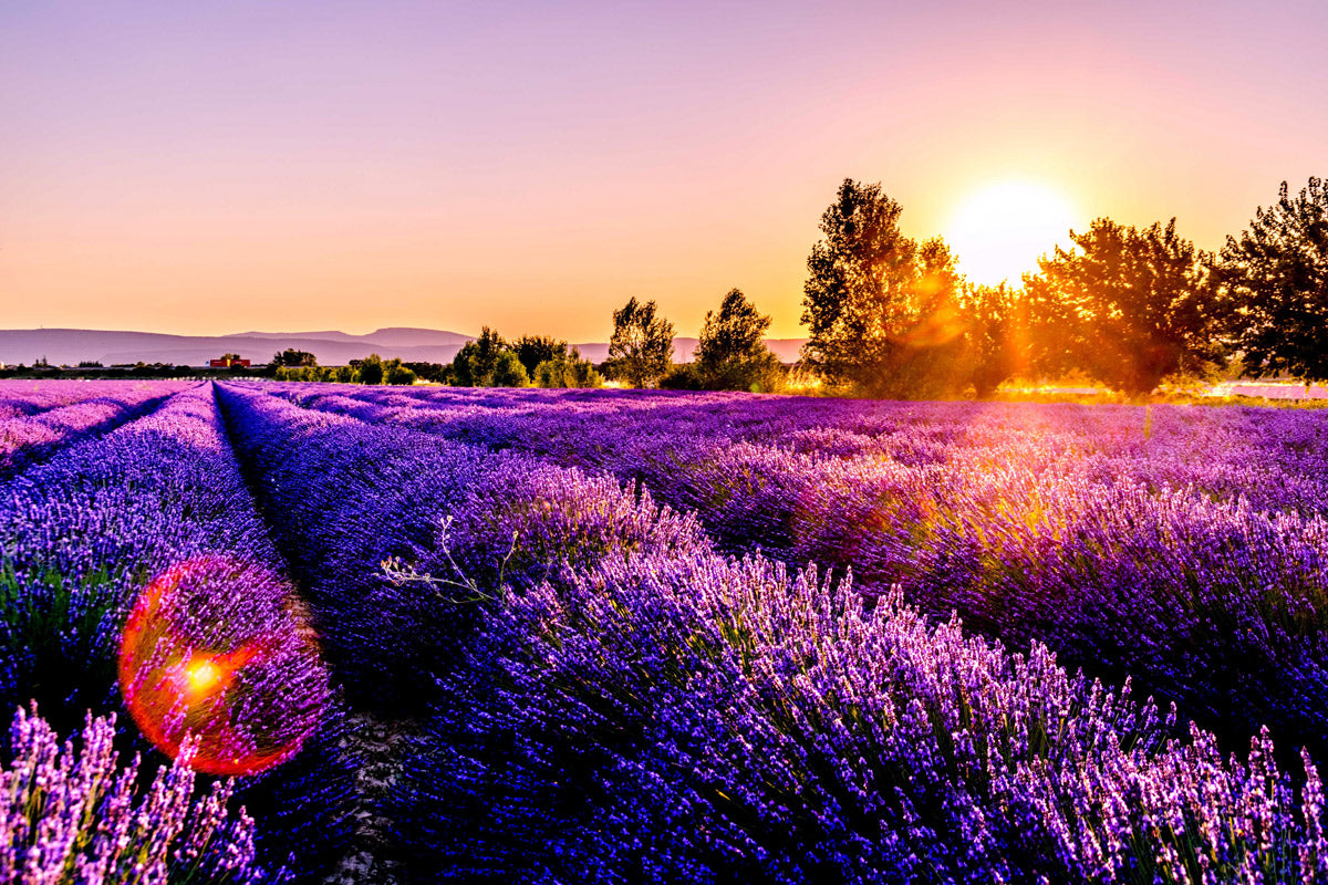 8 Healing Effects of Lavender