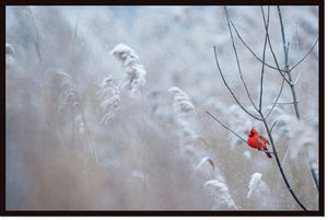 Bright Male Northern Cardinal