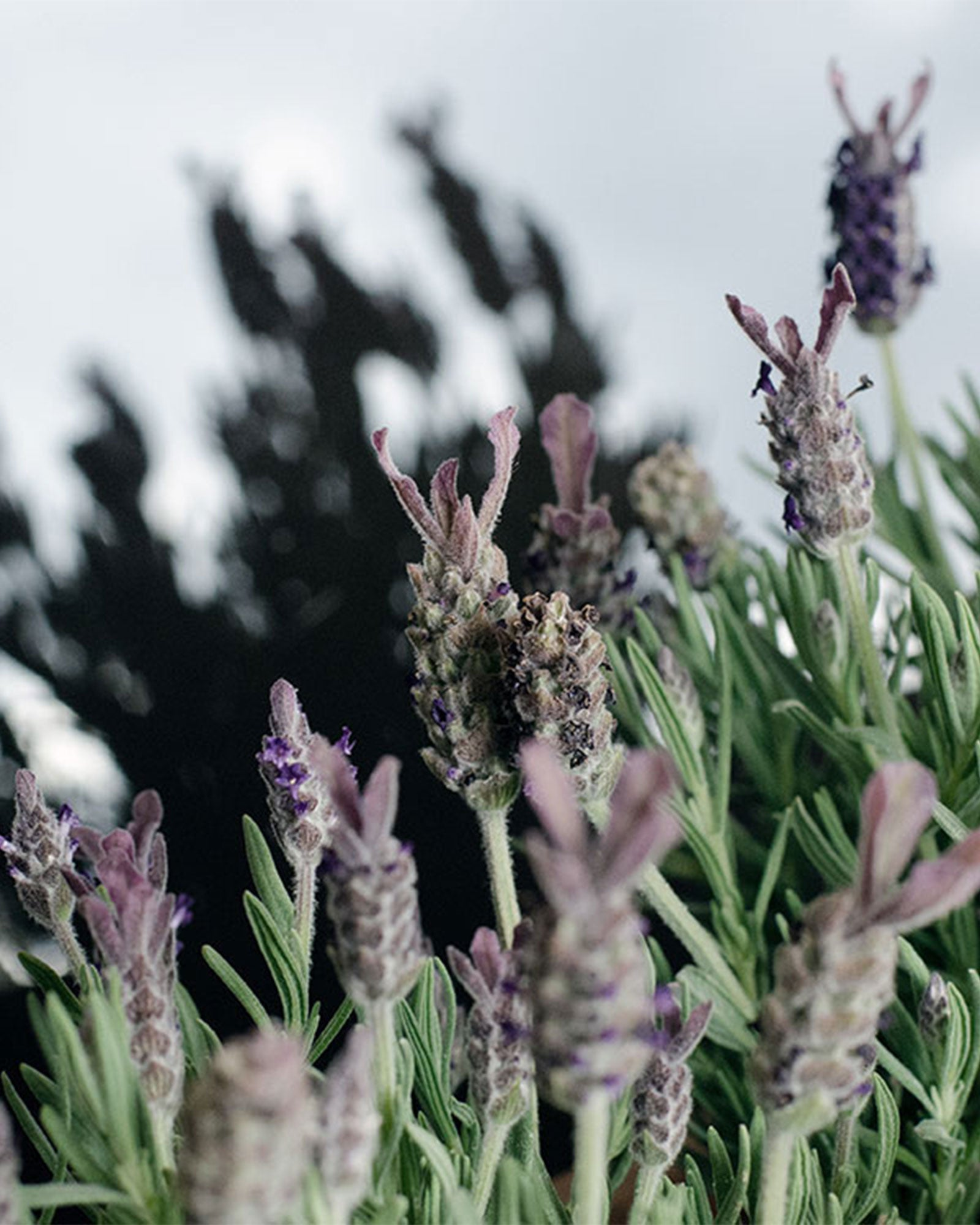 The Art of Scent: The Lavender Edition