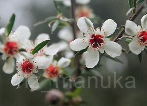 Manuka honey, manuka bush, manuka flower