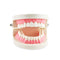 1 Piece Dental Dentist Flesh Pink Gums Standard Teeth Tooth Teach Model