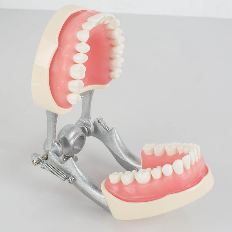 Dental Teach Study Adult Standard Typodont Demonstration Model Teeth