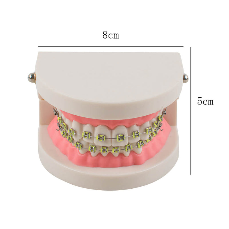 Dental Teach Study Adult Typodont Demonstration Teeth Model with Brackets