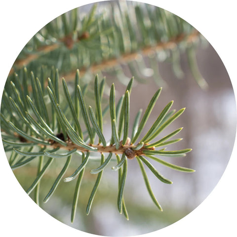 LIVING LIBATIONS - Balsam Fir Essential Oil