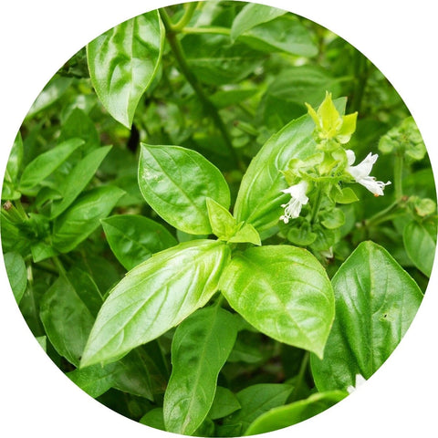LIVING LIBATIONS - Basil Essential Oil