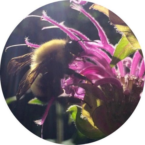 LIVING LIBATIONS - Bee Balm Essential Oil