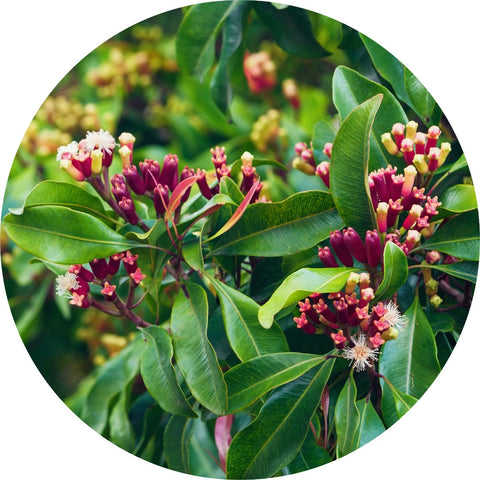 LIVING LIBATIONS - Clove Bud Essential Oil