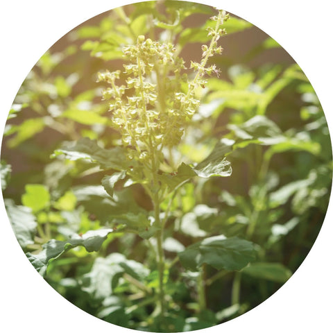 LIVING LIBATIONS - Holy Basil Essential Oil