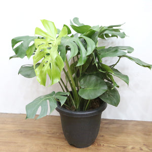 Monstera Plant, Plants with pots,Steve & Leif - greenleif.sg