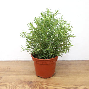 Rosemary Plant (Type 1), Plants with pots,Steve & Leif - greenleif.sg