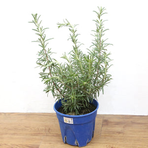 Rosemary Plant (Type 2), Plants with pots,Steve & Leif - greenleif.sg