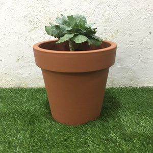 Small Cabbage Plant with Pot (Terracotta)