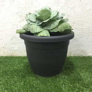 Medium Cabbage Plant with Pot (Summer Grey), Plants with pots,greenleif.sg - greenleif.sg