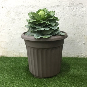 Large Cabbage Plant with Pot (Zen Brown), Plants with pots,greenleif.sg - greenleif.sg