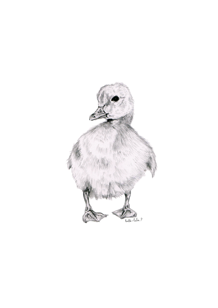 Duckling Sketch