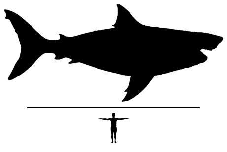 Megalodon shark scale to man