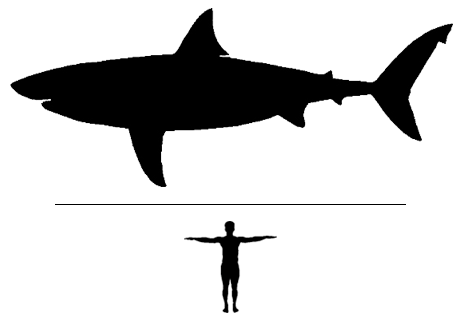 Otodus Shark scale to man