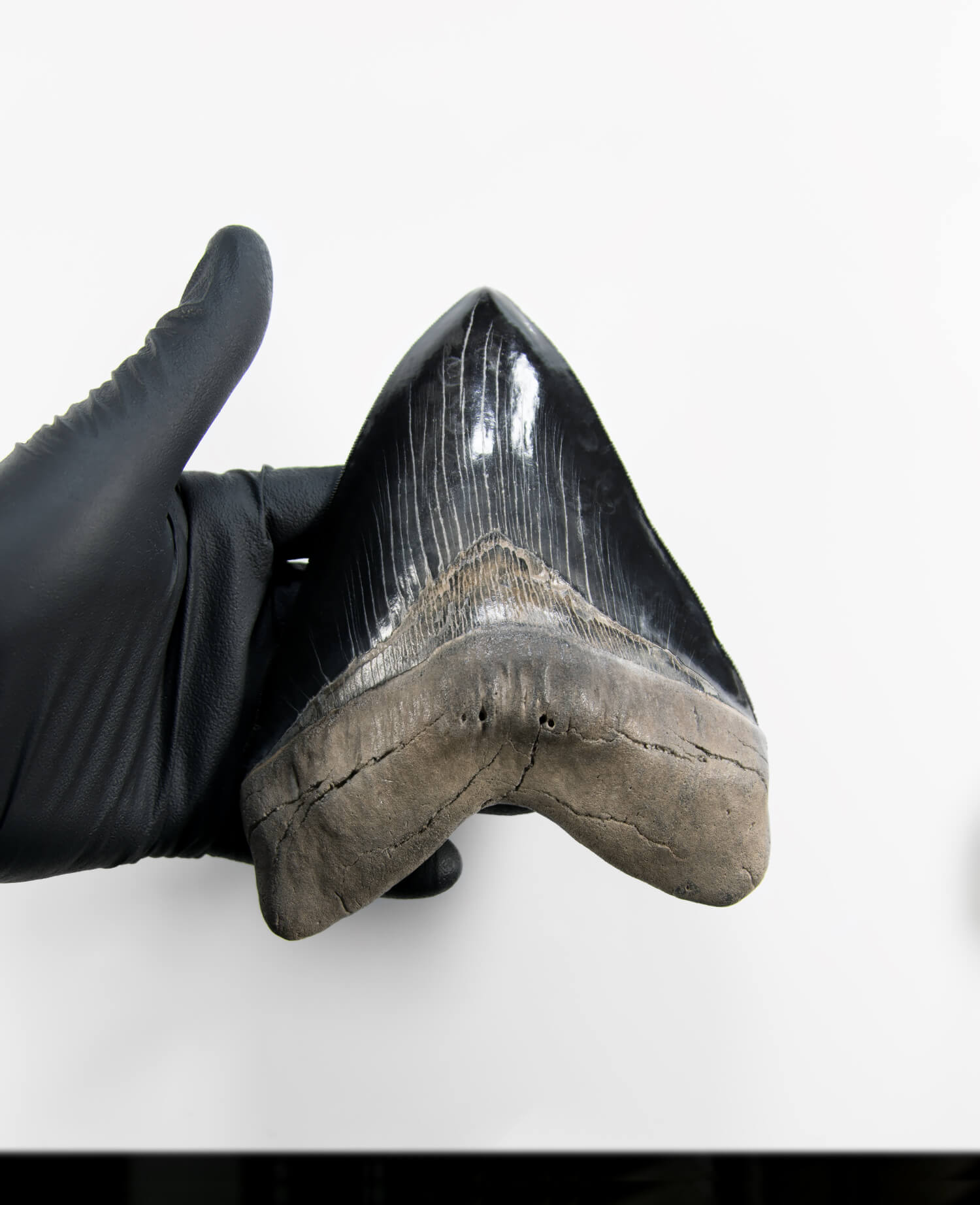 A stunning museum-standard rare fossil Megalodon carcharodon shark tooth for sale on a bronze stand measuring 6 inches