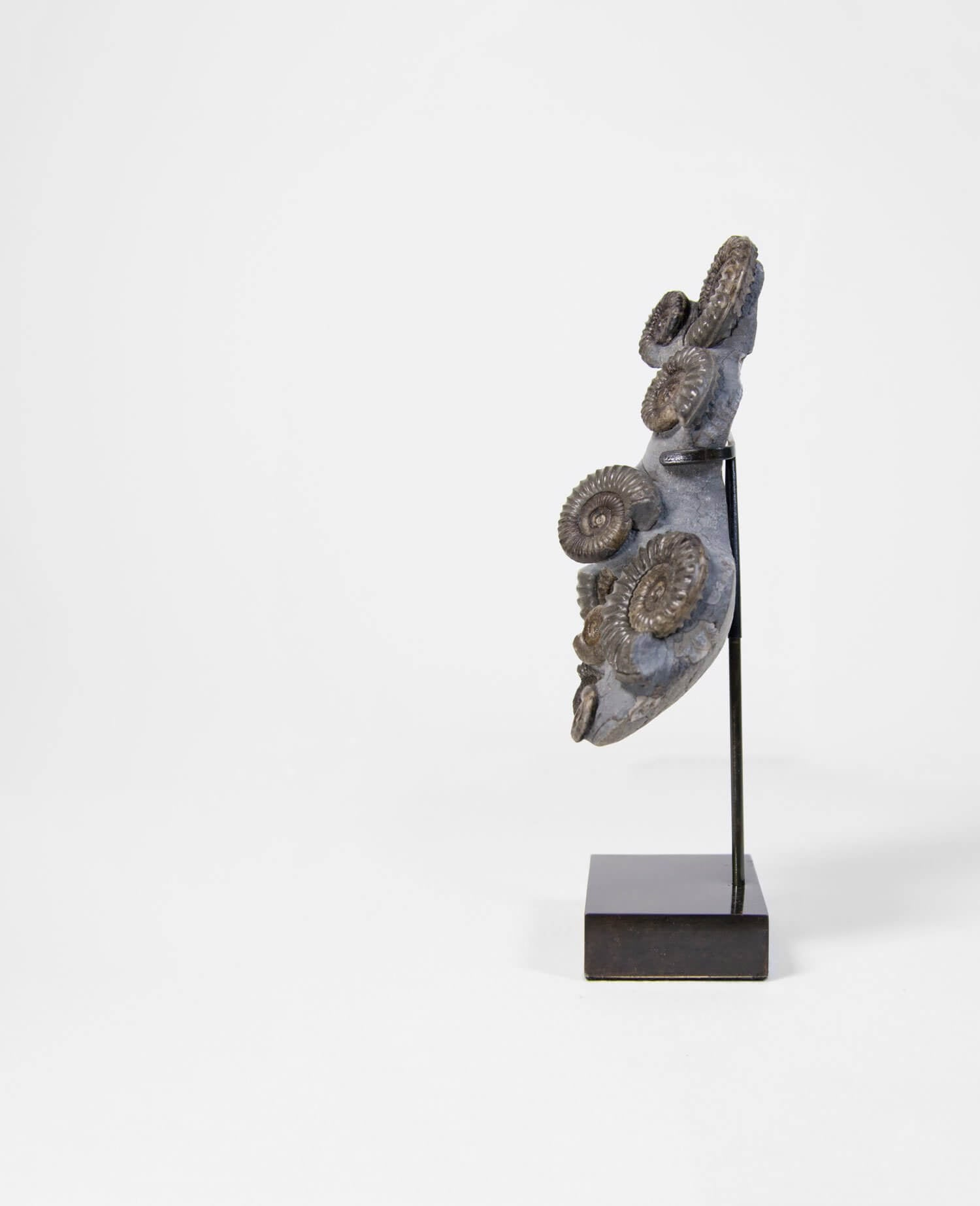 ammonites on bronze stand
