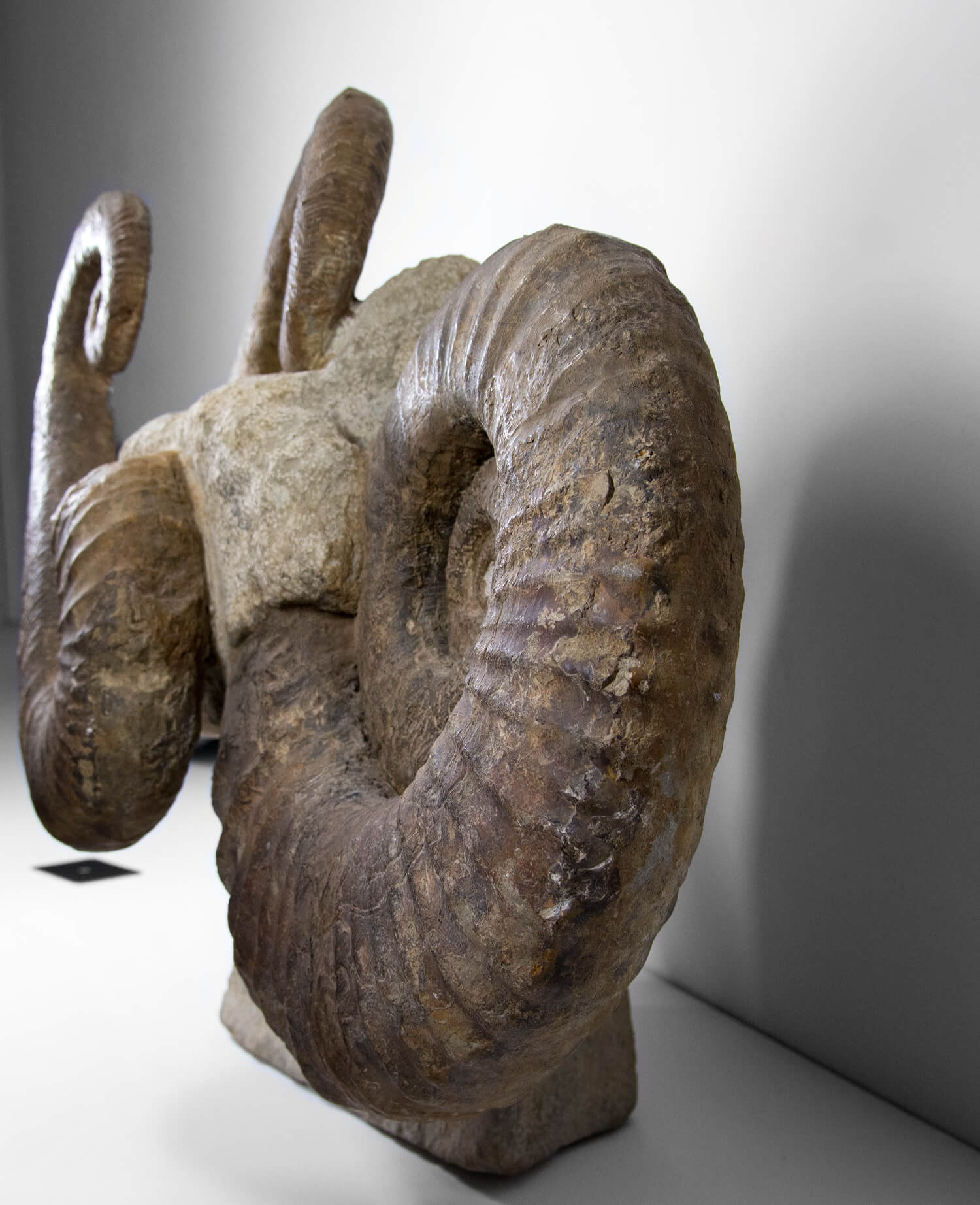 Ancyloceras ammonite fossil sculpture