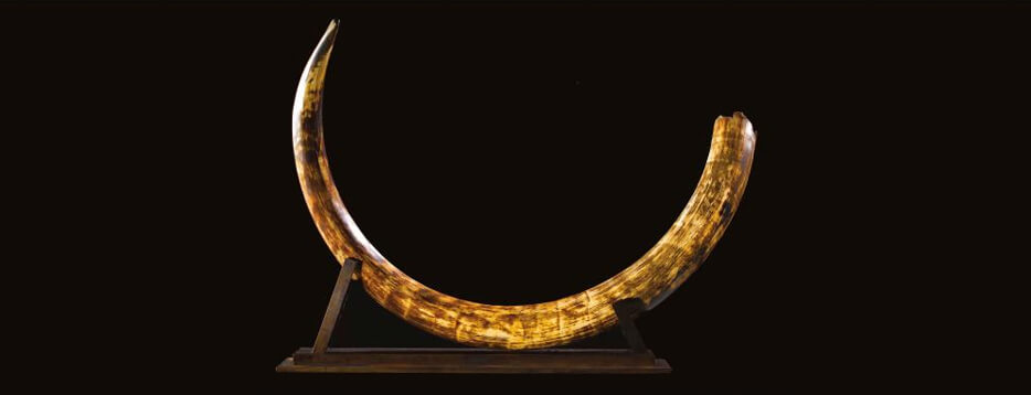 Mammoth tusks for sale