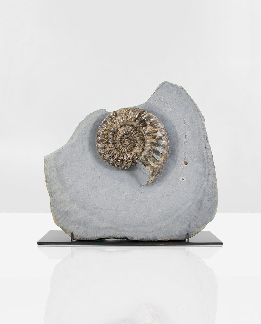 Asteroceras Ammonite on Bronze 1.6ft